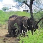 ElephantsRuche