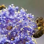 InsectesPollinisateurs