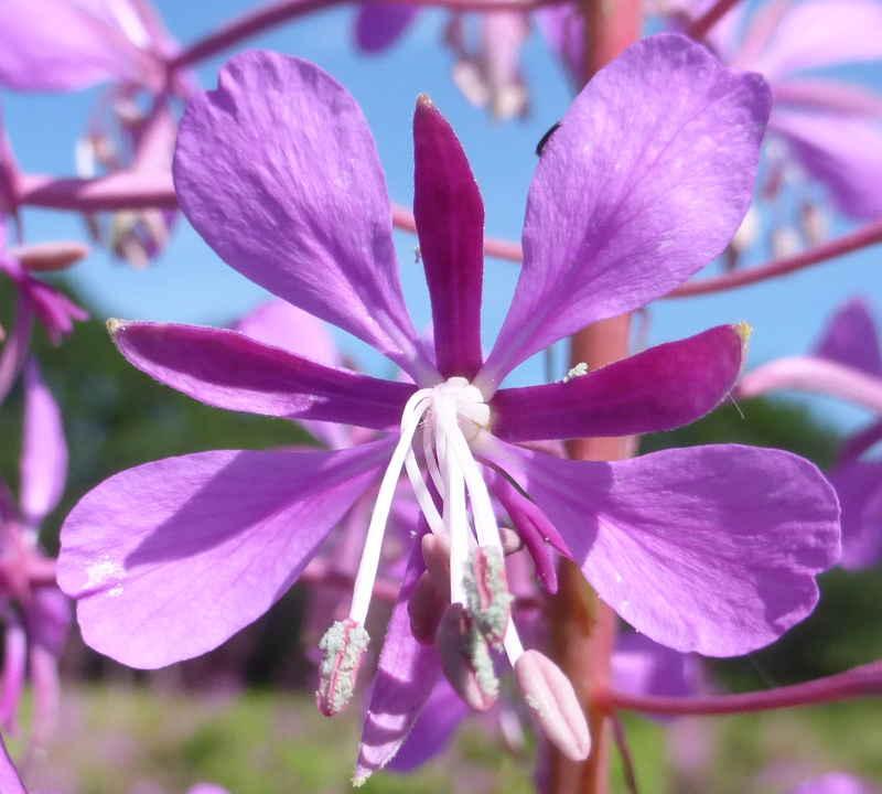 Fleur d'épilobe en épi