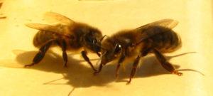 Gardienne à l'entrée de la ruche